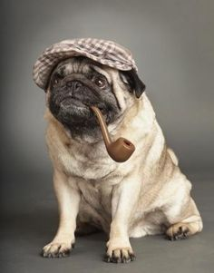 Pug with Pipe and dapper cap!
