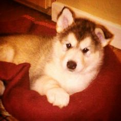 Pet O, Snow Dogs, Alaskan Malamute, Dog Life, Little Babies, Dog Mom, Puppy Love, Husky, Dog Lovers
