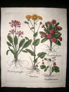 Besler 1613 LG Folio H/Col Botanical Print. Doronicum, Cowslip, Garden Primrose