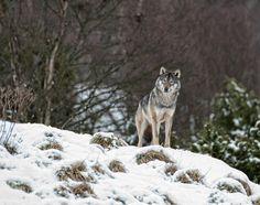 The Stare:  A pack of five all male European grey wolves are the latest residents at the recently opened attraction which is an extension of Bristol Zoo Gardens. The Wild Place Project which has been left as natural as possible to replicate their native woodland habitat in Europe.