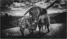 High mountains models #highlands #highlandscattle #mountainmodel #blackandwhitephotography #lightandshadow #nikond500photography #scotlandhighlandsanimals Nikon D500, Light And Shadow, Highlands, Cattle, Black And White Photography, Horses, Models, Mountains, Animals