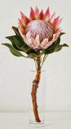 This is what the flower girls will be carrying. Just one king protea. Flor Protea, Protea Art, Protea Flower, Bridal Flowers, Flower Bouquet Wedding, Exotic Flowers, Beautiful Flowers, Flower Crown, Flower Art