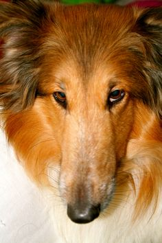 Collie - I love the look