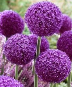 "Allium   Spring blooming flowers that reach 3.5'-4' tall with a huge 6"" round purple flower head on top"
