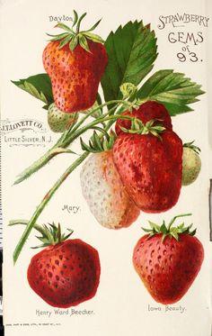 Lovett's guide to fruit culture : spring 1894 - Strawberries