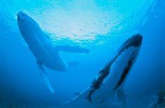 """Ocean, whale  """"BLUE FOCUS""""  by Takaji Kobayashi 静岡県  作品サイズ: A3ノビ、3枚組作品  使用プリンター: エプソン「PX-G5000」   使用用紙: エプソン「写真用紙クリスピア<高光沢>」  使用カメラ: Nikon NIKONOS RS    海に暮すユニークな生き物にフォーカスしました。  澄み渡る青い光の中を泳ぐ姿はとてもドラマチックです。フィッシュアイレンズで撮影しています。"""