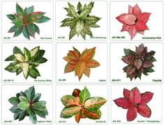 Aglaonema Crispum - Chinese Evergreen  Keep an eye on this one as it may be picky about light and moisture. Once you get happy in a location, it's very easy. Many different color/pattern varieties available, as seen in this image.