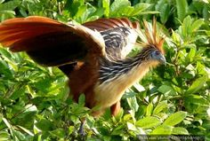 The stinkbird is common around much of South America, but it's the people of Guyana who've really taken this sky skunk to their hearts – they've chosen the nasally-offensive species as their national bird.