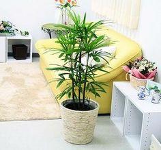 シュロ竹 (シュロチク・棕櫚竹)