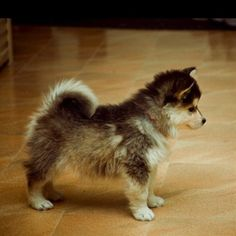 Pomsky.. a Husky that stays tiny, so you can keep