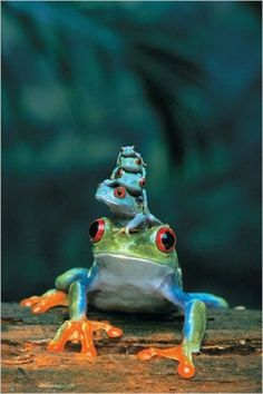 Mother & Babies FROGS 24x36 Inch Full Color Wildlife Art Poster by Eurographics This beautiful, full color, 24 x 36 inch poster captures a Red-Eyed Tree Frog Mother with her Babies all piled up, on to