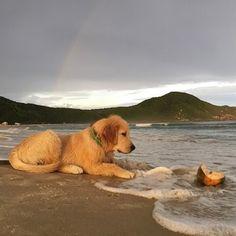 Golden pup on the beach
