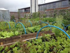 Veg on roof terrace // Food From The Sky Forest Garden