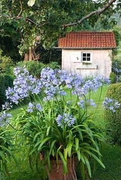 agapanthus..... omg, another jaw dropper pin!!!! loooooooooove this whole setting!! This is an old potting shed in the most incredible setting!!!!
