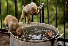 Jammu, Indien, 25. Mai: Drei Äffchen in der «Badi».Bild: Keystone/AP/Channi Anand
