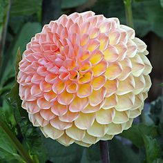 'Blyton Softer Gleam' Beautiful Dahlia form and colour. Cut Flower Garden, Beautiful Flowers Garden, Flowers Nature, Exotic Flowers, Amazing Flowers, My Flower, Pretty Flowers, Dahlia Flowers, Purple Dahlia
