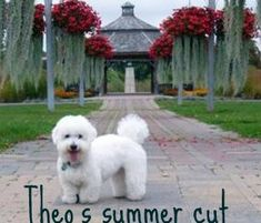 coton de tulear puppy cut...this is so cute:-)) I can hardly wait for my new baby.....
