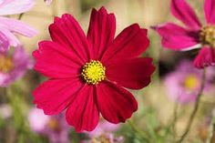 cosmos flowers images - Google Search Cosmos Plant, Cosmos Flowers, Cut Flowers, Chocolate Cosmos, Different Types, Low Maintenance Plants, Images Google, Garden Borders, Annual Plants