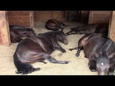 Horses Peacefully Farting, Snoring, and Relaxing – Love It! | The Horseaholic