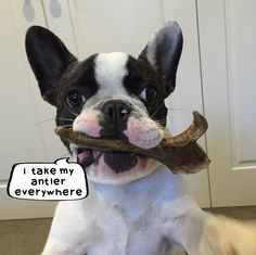 Archer the Frenchie is loving his Antler.
