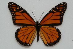 Monarch, top