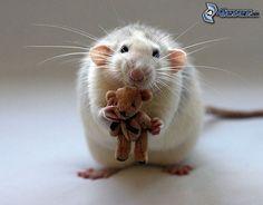 Ratte, Teddybären