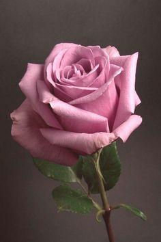 Lavender Roses, Purple Flowers, Pink Roses, Image Beautiful, Beautiful Photos Of Nature, Animals Beautiful, Beautiful Rose Flowers, Love Rose, Flower Images