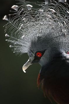Victoria Crowned Pigeon - love the lighting Rare Birds, Exotic Birds, Colorful Birds, Pretty Birds, Beautiful Birds, Animals Beautiful, Animal Original, Photo Animaliere, Kinds Of Birds