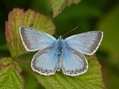 Butterfly Conservation is a British charity devoted to saving butterflies, moths and their habitats throughout the UK. Types Of Butterflies, Beautiful Butterflies, Chalk Hill, Holly Blue, Butterfly Species, Gossamer Wings, Largest Butterfly, Photo Pin, Delphinium