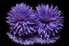 #aster #bloom #blossom #flora #flowers #hd wallpaper #nature #purple #reflection