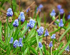 #Traubenhyazinthe (Muscari azureum) -neuer Gartentraum-