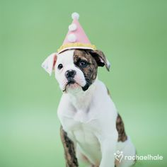 Shadow (American Bulldog) - Shadow is ready to party. Pet Photography | Birthday Photo Session Ideas | Dog | Puppy