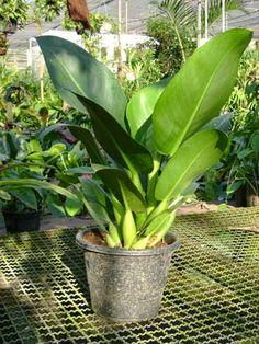 Philodendron martianum est une plante tropicale à grandes feuilles, facile à cultiver comme plante d'intérieur.