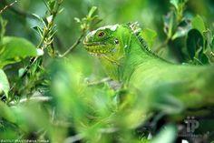 Iguana - Martinica