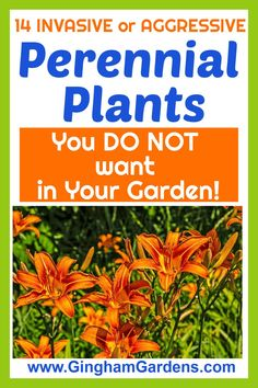 Don't add these bad Perennial Plants to your gardens even if they are free, includes 14 of the most invasive perennials and aggressive perennials to avoid. #invasiveshadeperennials #invasivegardenperennials #ginghamgardens Best Perennials, Flowers Perennials, Garden Pests, Garden S, Garden Ideas, Gardening Zones, Planting, Gardening Tips, Obedient Plant