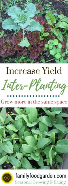 Inter-Planting can really help to increase your harvests and maximize your garden space. I talk about inter-planting in my book as one of the 20 methods to increase garden yields and it's something I highly recommend you get into the habit of doing if you're a keen gardener aiming to reduce grocery