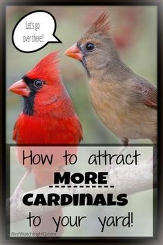 4 Simple Strategies To Attract Cardinals To Your Feeders! Cardinal Bird House, Cardinal Birds, Bird House Plans, Bird House Kits, Bird Aviary, Bird Houses Diy, How To Attract Birds, Backyard Birds, Backyard Ideas