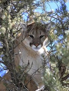 383ef2077ef0 815 Best mountain lions images in 2019