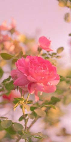 Wallpaper Nature Flowers, Flower Iphone Wallpaper, Flowery Wallpaper, Beautiful Landscape Wallpaper, Beautiful Flowers Wallpapers, Flower Backgrounds, Beautiful Flower Quotes, Beautiful Rose Flowers, Flower Graphic Design