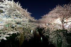 Cherry blossom @ Meguro river.