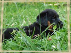 Sieste dans l'herbe d'un chiot beauceron