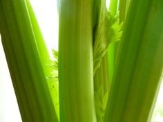 Celery – has a high percentage of organic sodium which is vital to many bodily functions. Celery is high in magnesium and iron, a combination which is valuable as a food for the blood cells, high in Vitamin C and helps in cancer prevention and lower cholesterol and blood pressure. Diuretic, blood cleanser, highly alkaline, sodium, calcium, silicon, magnesium, iron