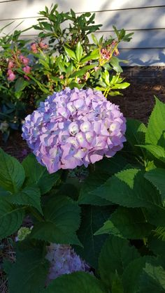 Hydrangea starting yo bloom