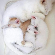 Mama Cat and her kittens Pretty Cats, Beautiful Cats, Animals Beautiful, Beautiful Family, Cute Kittens, Cute Baby Animals, Funny Animals, Bb Chat, Cute Cats Photos