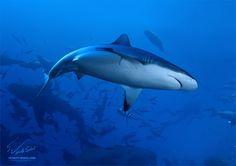 """""""Grey Reef Shark"""" by Vitaly-Sokol.deviantart.com"""