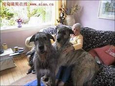 Biggest Dogs In The World   ...........click here to find out more     http://googydog.com