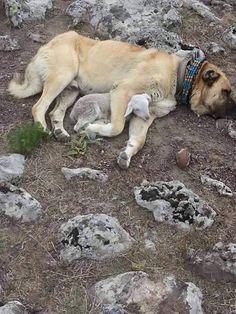 A Kangal dog with a lamb