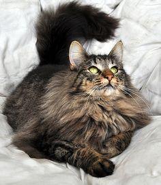 Norwegian Forest Cat Official TST Cat Norways Trolljegeren Troll Security Service Cat TROLL HUNTER