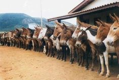 United States Army Counterintelligence Mule Division mornin' roll call ... NOT ... just kiddin' ... lol ... how in the heck did they get all these mules to stand 'in formation' ... lol <3