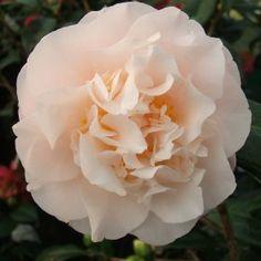 Double Peony Flower: Types of Peony Flowers